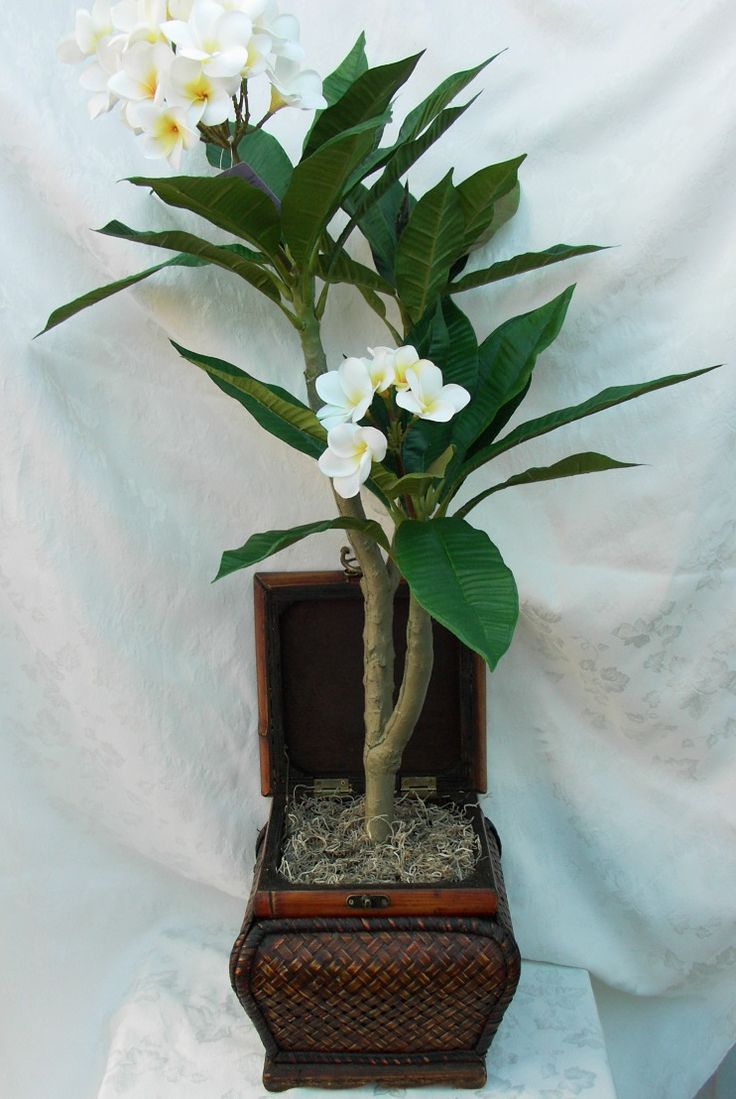 Plumeria (1)