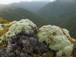 Image result for hardy alpine plants nz