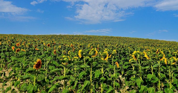 The Hill of Sunflowers. (Tuscany). by Renato Pantini on 500px