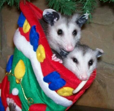64 best Possums images on Pinterest | Skunks, Animals and Raccoons
