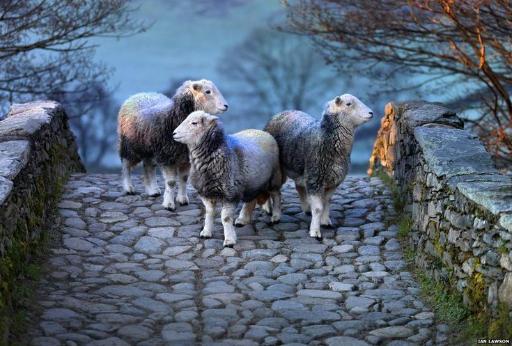 Ewe are so beautiful. Herdwick sheep on bridge - by photographer Ian Lawson, Herdwick: Via BBC