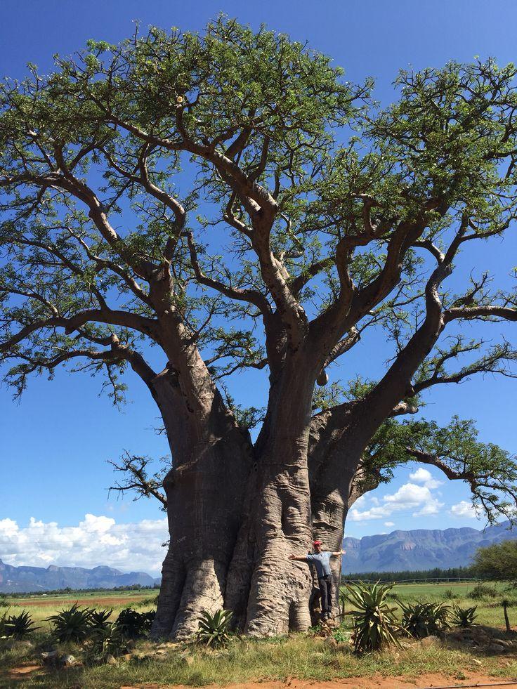 Baobab Tree in Hoedspruit