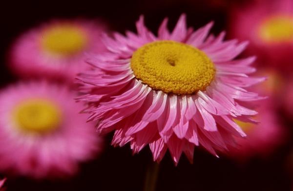 australian straw flower.