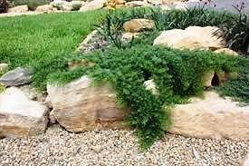 6-Myoporum-Parvifolium-Creeping-boobialla-hardy-ground-cover-90mm-pots