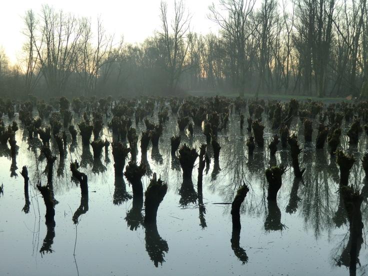 Biesbosch bomen