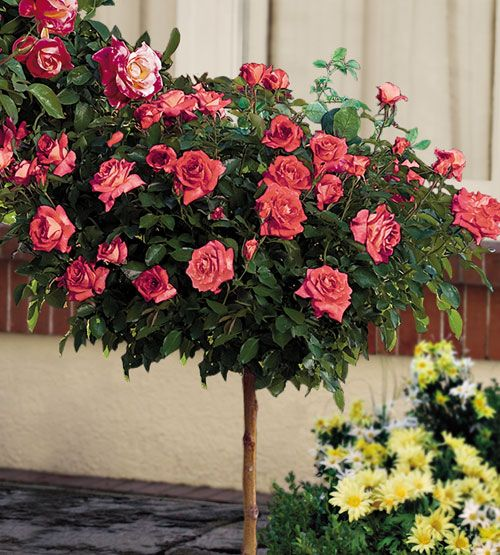 Rose Tree They Are The Artwork Of The Most Ambitious Of