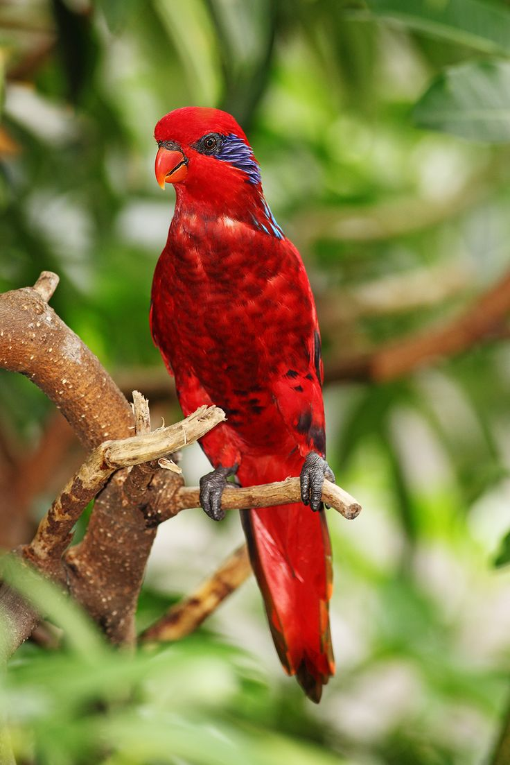 Blue-streaked lory  (Eos reticulata): It is found in the Tanimbar Islands and Babar, all in Indonesia. It was also introduced to the Kai Islands, but may be extinct there again. It inhabits mangrove, coconut groves, plantations and forests.