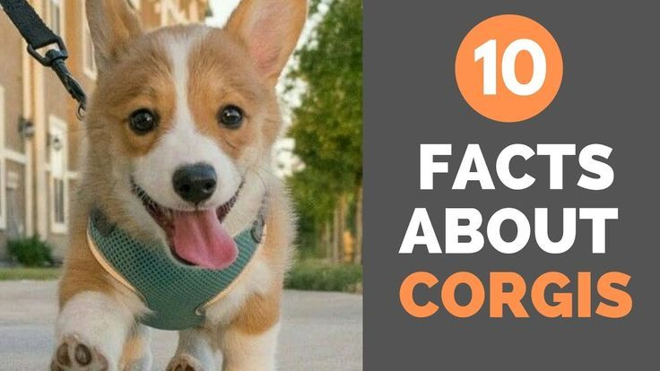 10 Facts About Corgis Corgi Corgi Facts Pet Watching