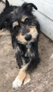 Carson - Wirehaired Terrier
