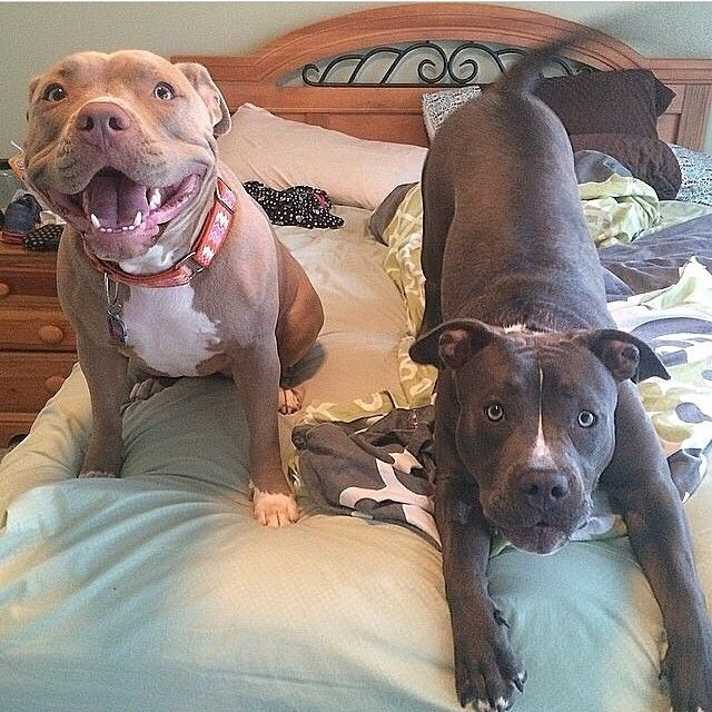 Why do people call pit bulls scary? Look at this picture! If you train them right they can be your best friends!