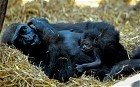 Video of baby gorilla born at Chessington Zoo - he takes his first steps..