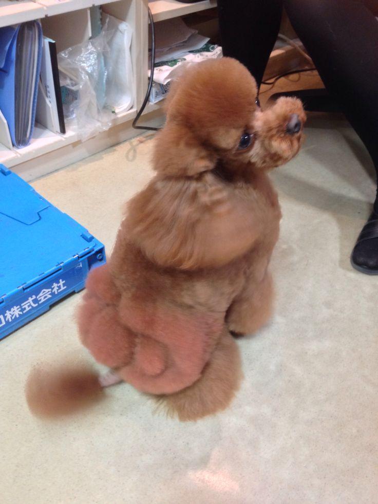 my sweeeetest! yamato #poodle #barboncino
