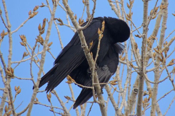 American Crow ©Steve Frye. Wild Bird Center of Boulder, CO Saturday Morning Bird Walk in Boulder County – March 29, 2014.