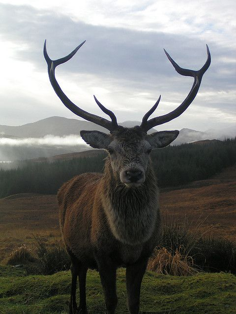 """Magnificent Highland Stag, often dubbed """"The Monarch of the Glen"""" and emblematic of the Scottish Highlands..."""