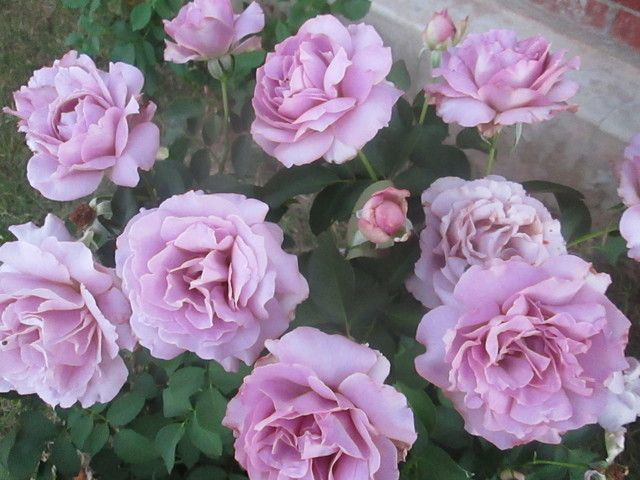 Love Garden Roses: Love Song Rose Bush - Google Search