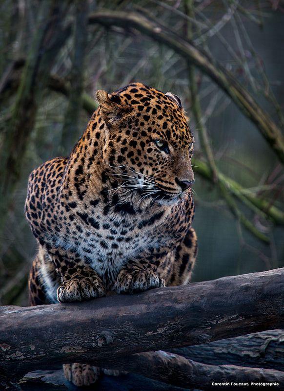 ~~Jaguar by Corentin Foucaut~~