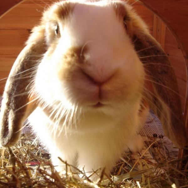 Alimentación del conejo belier #ExpertoAnimal #MundoAnimal #ReinoAnimal #Animales #Naturaleza #Granja #AnimalesdeGranja #AnimalesDomésticos #ConejoBelier #conejos