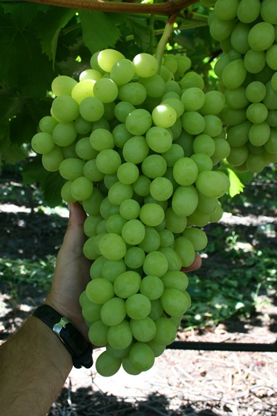 1000 images about grapes on pinterest stuffing blog and berries - Growing french walnuts for a profit ...