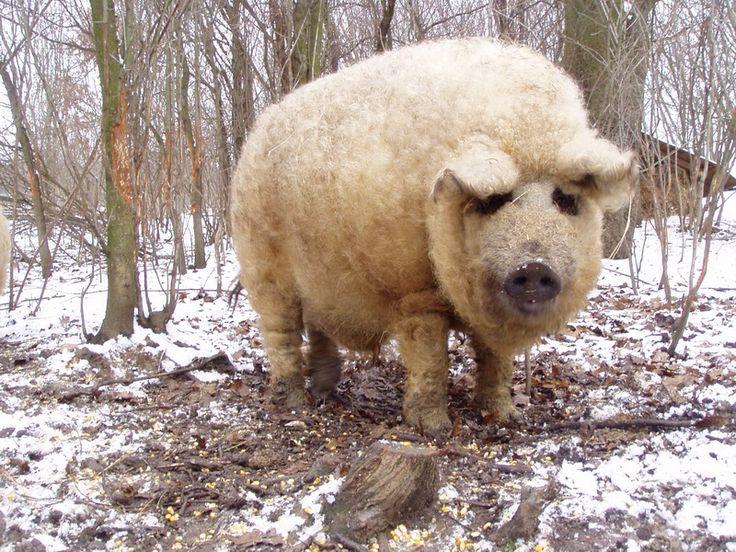 Wooly Pig.