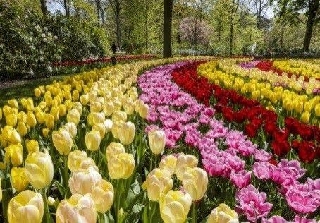 Hollanti ja tulppaanit. Kevätmatka Hollantiin 7-10.5.2017 Tällä matkalla tutuiksi tulevat niin Amsterdamin kaupunki, Keukenhofin värikäs tulppaanipuisto kuin Edam-juuston maailmaa. Lähde mukaan mielenkiintoiselle matkalle Hollantiin.