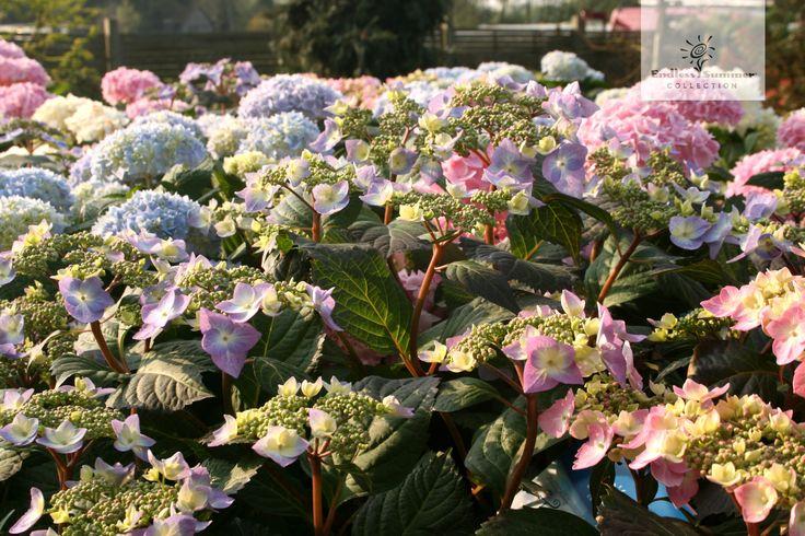 Ein wahres Blütenmeer! Die Hortensien der Endless Summer® Collection.