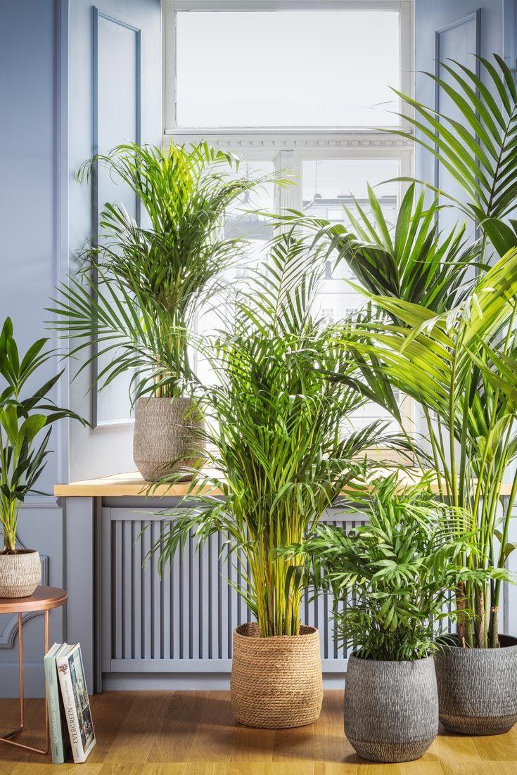 Dschungelfeeling Mit Palmen Zimmerpflanze Palme Zimmerpflanzen Pflanzen