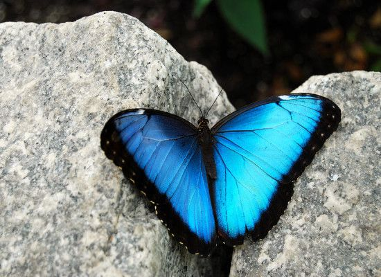 7 Male Blue Morpho Butterfly Pictures