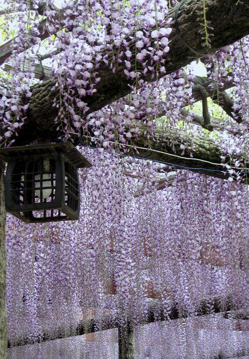 Japanse stijl lantaarn onder een paarse regen en boomstam trellis