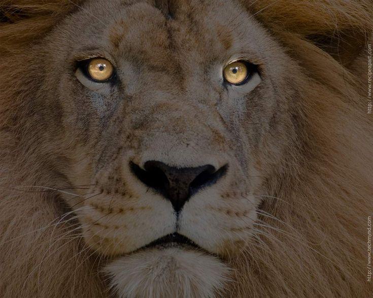 Best 25 Lion Hd Wallpaper Ideas On Pinterest: Best 25+ Lion Pictures Ideas On Pinterest