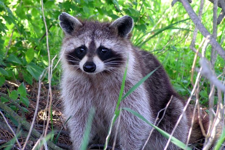 raccoon-presqu'ile park we named him notches-by susan shipman