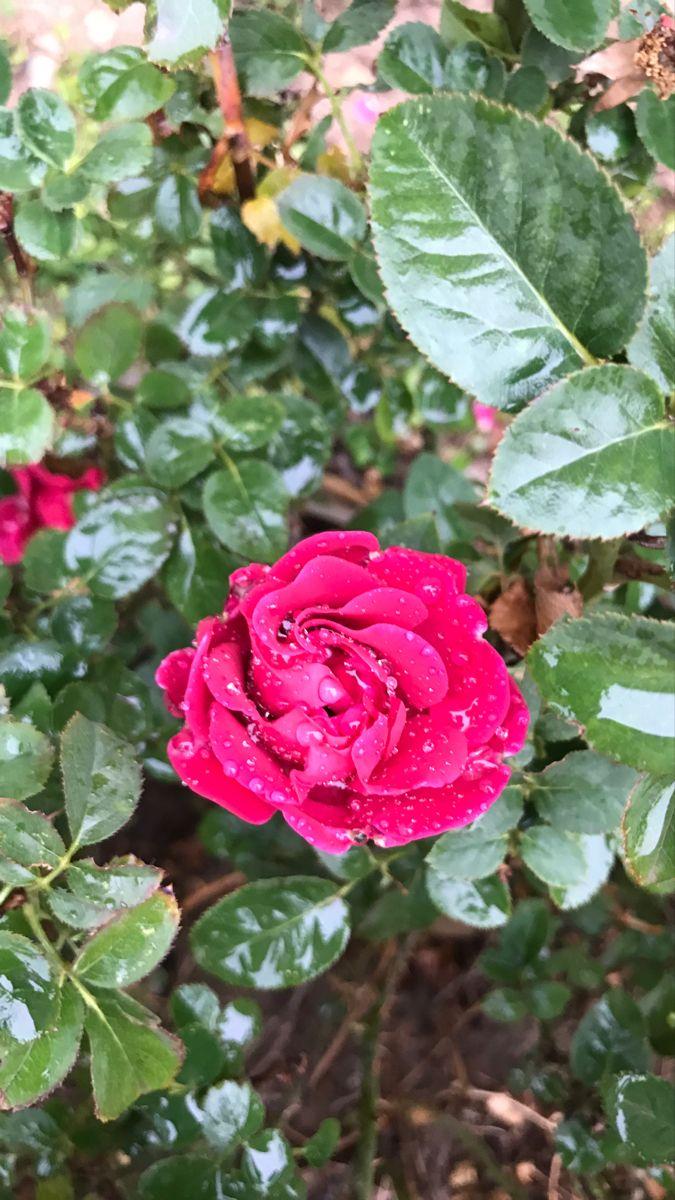 وردو مطر Rose Flowers Plants