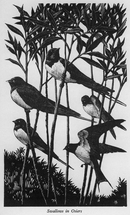 From A Book of Birds by Mary Priestley, with 82 Wood Engravings by C.F. Tunnicliffe, The MacMillan Company, New York, 1938.