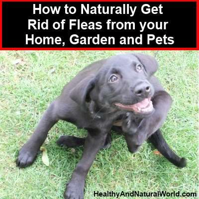 Natural Non Toxic Flea Control For Your Home Yard Dogs