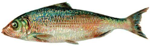 Fish printable