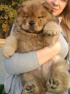 Must see Spherical Chubby Adorable Dog - ae85e911ac94e2a42dfc699809a49cc3--fluffy-animals-baby-animals  Photograph_369344  .jpg