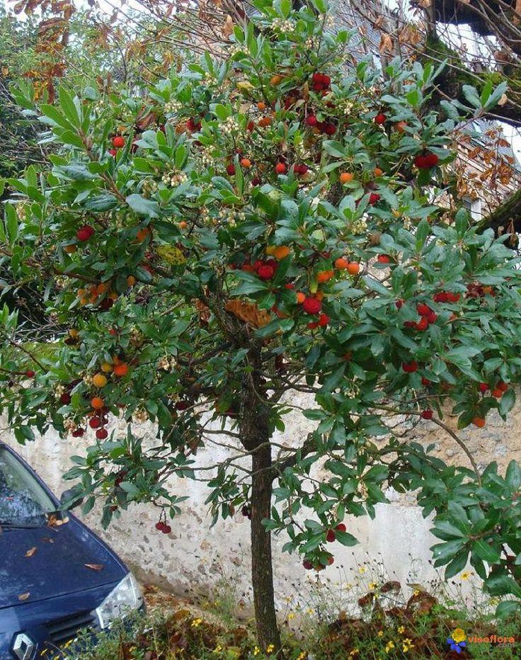 Arbousier ou Arbousier commun (Arbutus unedo) : Vue générale avec fleurs et fruits