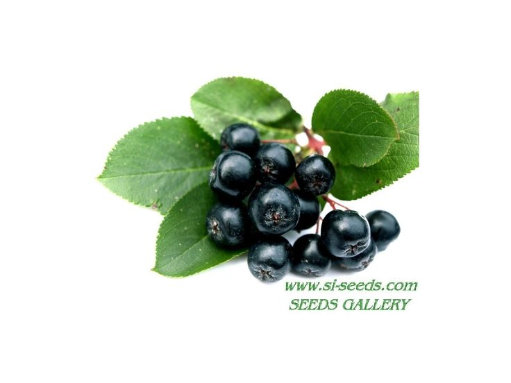 2,25 €Chokeberry Seeds (Aronia melanocarpa) Price for Package of 25 seeds. DESCRIPTION: Aronia melanocarpa is an extraordinary medicine plant which has been developed in Poland. It has an incredible array of health qualities. Known as Chokeberry, the native Americans used it to prepare pemmican (dried meat). It has a higher concentration of vitamin C than blackcurrants
