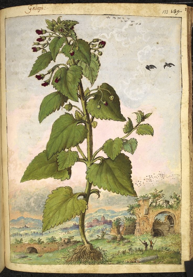 Full page botanical painting of Scrophularia nodosa, labelled 'Galiopsi' (Figwort), with ruins in the background, and two men with staffs, one waving to a man on top of the ruined wall.   Dioscorides' 'De re medica', by Pietro Andrea Mattioli, Physician of Siena, assembled and illustrated by Gherardo Cibo—ca. 1564-1584.