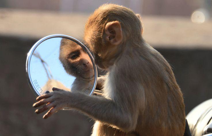 Macaco é visto se olhando em espelho de moto na Índia - https://anoticiadodia.com/macaco-e-visto-se-olhando-em-espelho-de-moto-na-india/