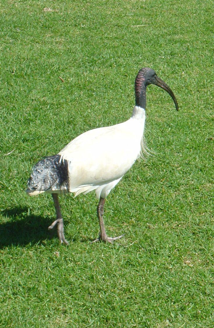 Ibis, Point Danger, Coolangatta, Gold Coast, Australia