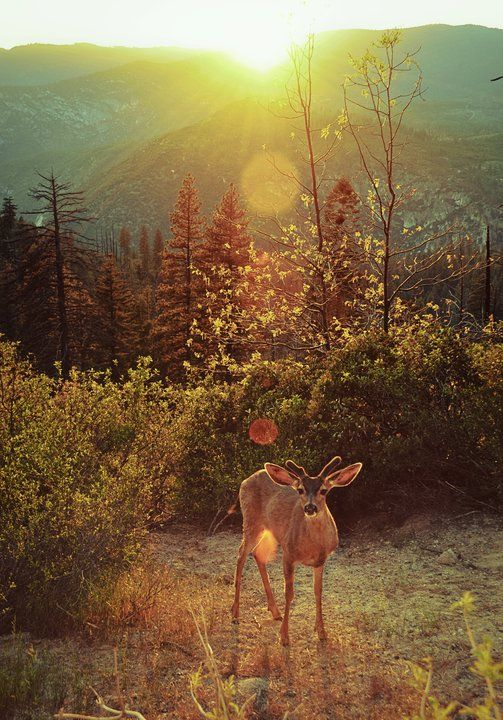 sunset: Animal Planets, Natural Beautiful, Yosemite Parks, Outdoor, Baby Animal, Pictures, Amazing Animal, Photo, Deer