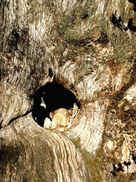 Ancient olive tree trunk in Sabina (Italy)