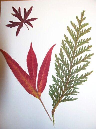 Rhus tiphina, geranium et thuya