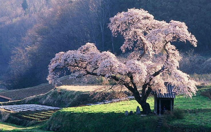 Sakura tree protecting a Shinto shrine in Japan