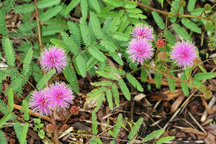 Mimosa rupertiana