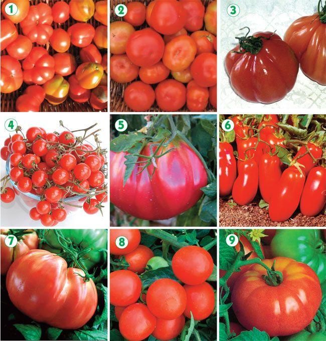 Oltre 25 fantastiche idee su coltivazione pomodori su for Scacchiatura pomodori