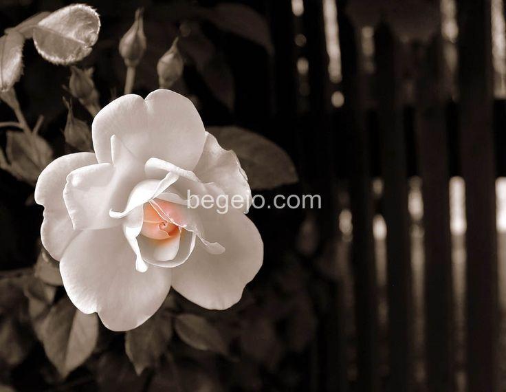 Ros http://begejo.com/bilder-naturen/