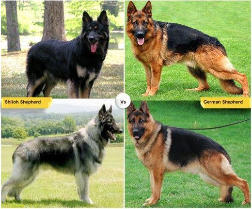 Shiloh Shepherd (<3333) & German Shepherd