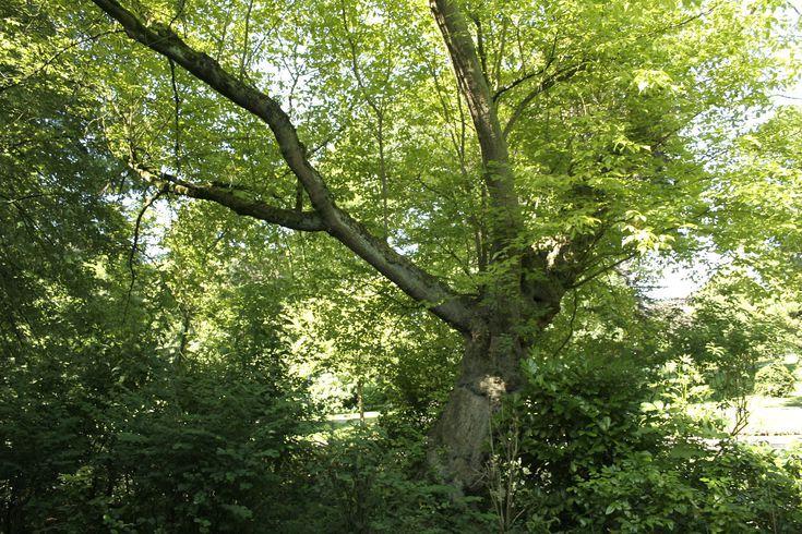 Boxelder Is The Most Widespread Maple In North America California Plants Box Elder Tree