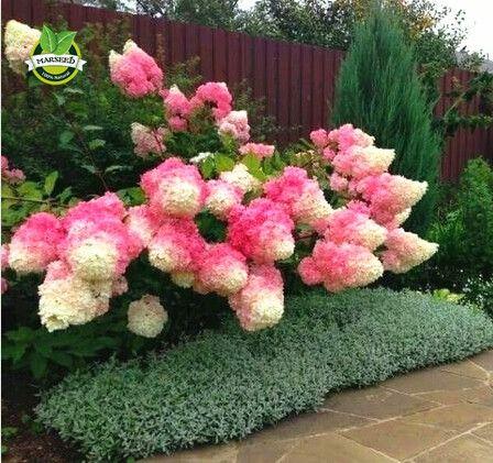 50 Vanilla Strawberry hydrangea Flower Seeds - Perennial Seeds